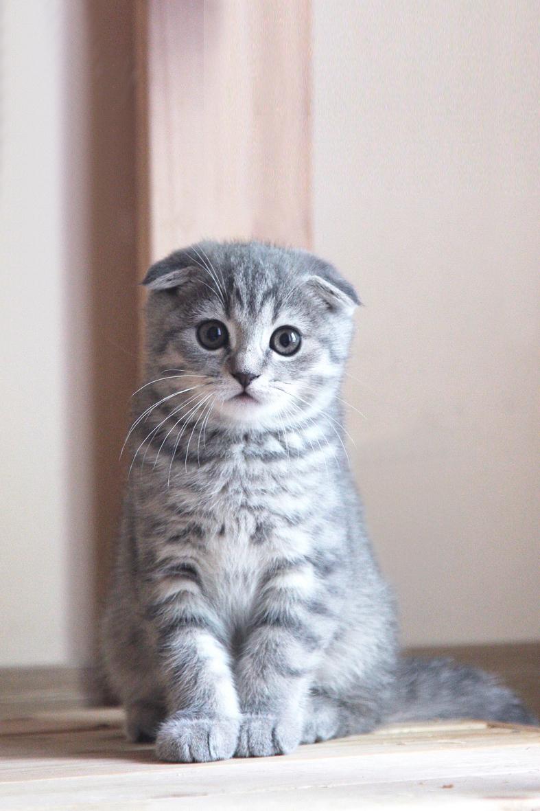 котята фото скоттиш фолд