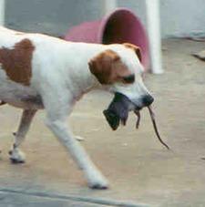 как той терьер ловит мышей